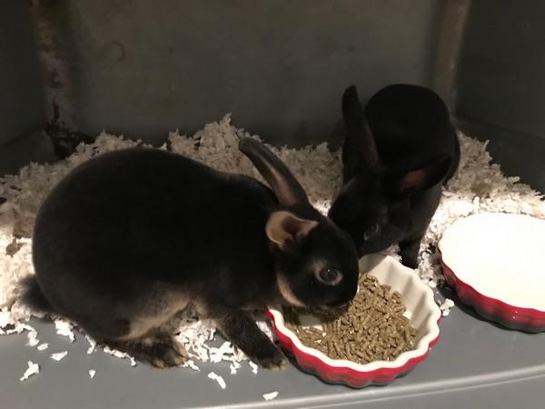 bunnies pets allergies